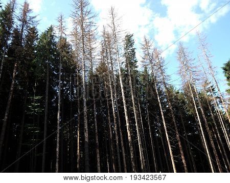 dead spruce forest and blue sky , dry spruce trees