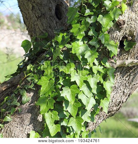 Old Olive tree overgrown with evergreen Common ivy, Hedera helix