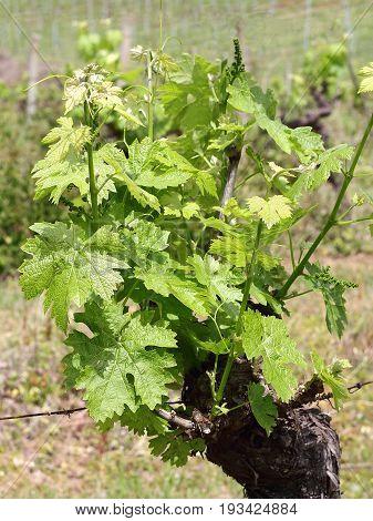 Vine stock in the Chianti region of Tuscany in Italy
