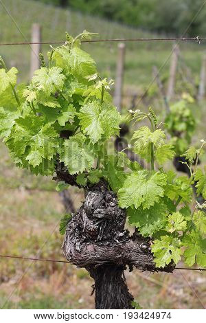 Vine stock in the Chianti region of Tuscany - Selected focus narrow depth of field