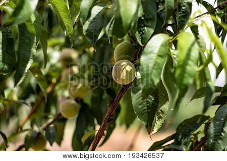 Peach Tree With Fruits Growing In The Garden