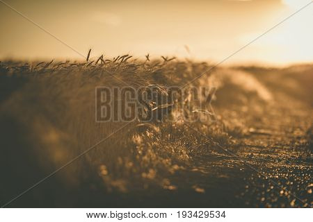 Scenic Rye Fields Countryside Road During Golden Hour. Shallow Depth of Field. Agriculture and Farming Concept Photo.