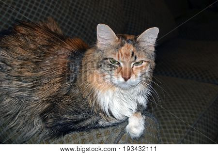 Portrait of a middle aged long haired female tabby feline
