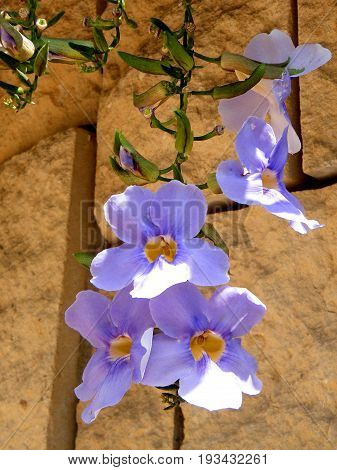 Branch Thunbergia Grandiflora flowers in Or Yehuda Israel