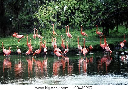 A flock of Pink flamingos on pond in New Orleans Louisiana USA
