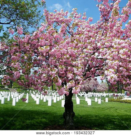 Sakura tree in the Arlington National Cemetery Arlington Virginia USA