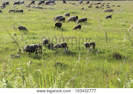 A large flock of sheep and cows grazing on a green meadow in June.