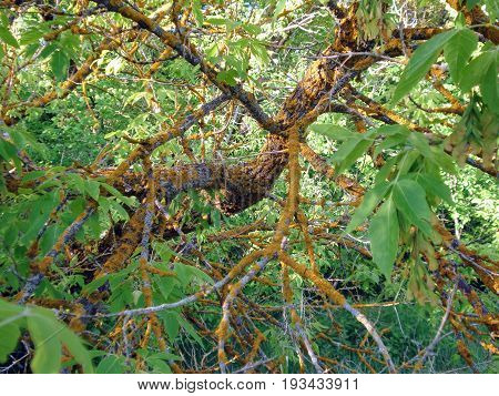The branch of the tree in the forest is affected by the disease, which slowly kills this tree.