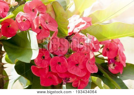 Euphorbia milii Desmoul Flower Red Color on the tree in garden.