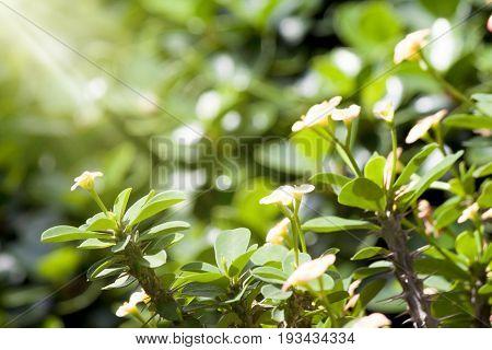 Euphorbia milli flower white color in garden with sun lighting on morning time.