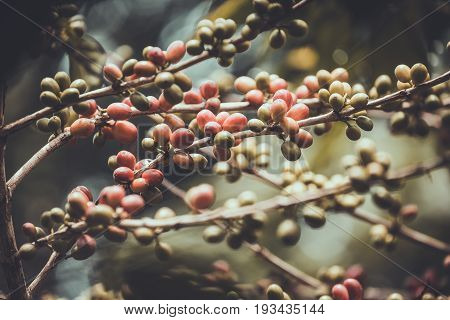 Coffee seeds red and green color on a coffee tree in Chiang rai Thailand