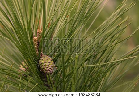 Young pine cones just beginning their summers growth.