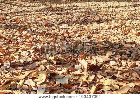 walkway in the forest with brown leaf dry covered on ground and have sun shines in the morning.