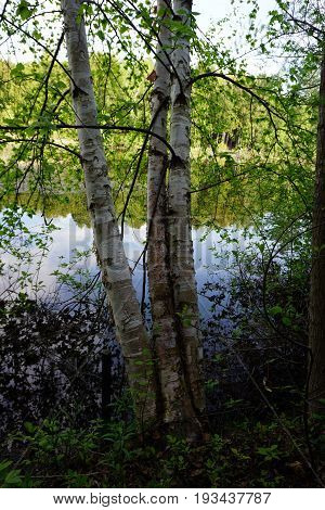 A stand of a white birch trees (Betula papyrifera) at the edge of Spring Lake, between Harbor Springs and Petoskey, Michigan during June.