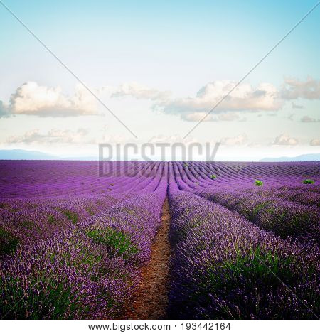 Lavender flowers field rows with summer pale blue sky, Provence, France, retro toned