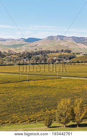 rows of grapevine growing in New Zealand vineyards in autumn