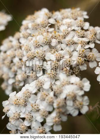Common Yarrow Flowers Heads Up Close Outside