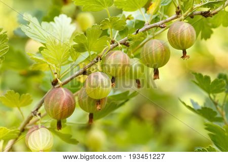 closeup of ripe gooseberries on the bush in the fruit garden ready for harvest. Gooseberries growing in the orchard. Gardening, agriculture, harvest, my summer garden concept