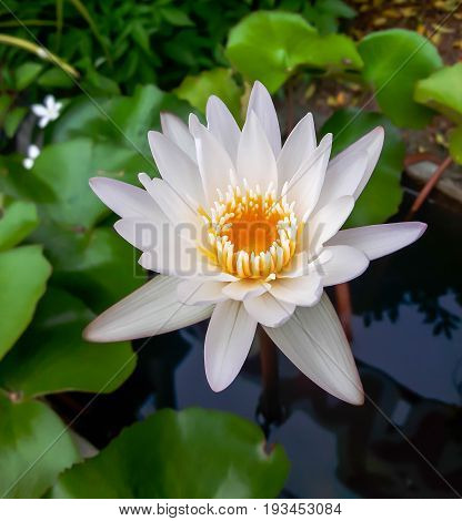 The beautiful white lotus flower or water lily reflection with the water in the pond.The reflection of the white lotus with the water.