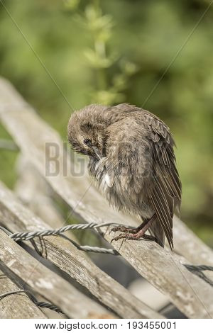 Starling, Juvenile Perched On A Fence Preening Itself, Close Up