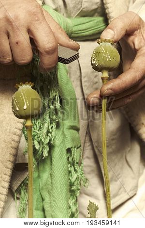 Detail of cutting poppy heads with knife to harvest opium latex