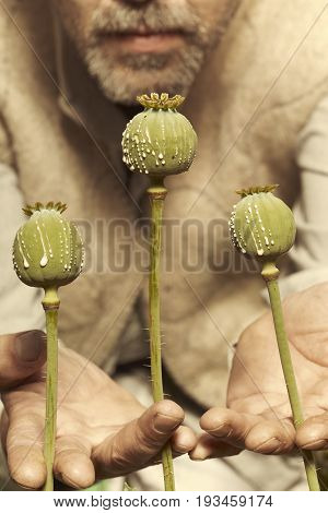 Middle East man cutting poppy heads with knife to harvest opium latex