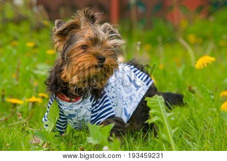Puppy Yorkshire Terrier sits in yellow dandelions