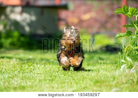 Puppy Yorkshire Terrier runs on the lawn