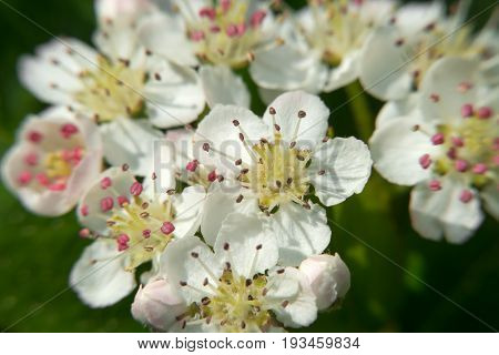 The little flowers of chokeberry. Macro photo