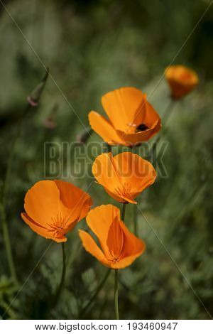 Stunning California Poppy Flower Eschscholzia Californica With Shallow Depth Of Field
