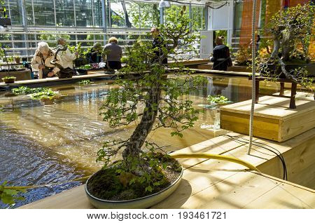 MOSCOW RUSSIA MAY 18 2017: Chinese Elm (Ulmus parvifolia) - Bonsai in the style of