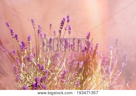 Selective and soft focus on lavender flower, , lavender flowers lit by sunlight