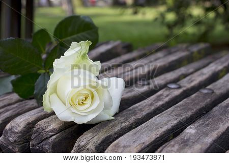 White roze on the wood banch.Flower card