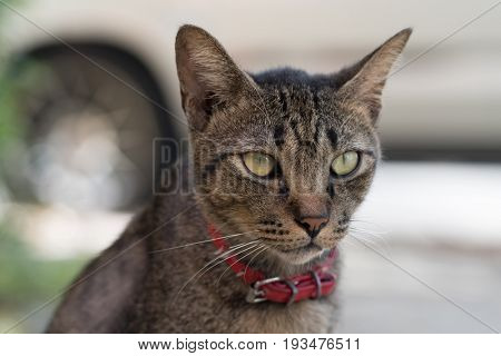 Closeup of beautiful gray striped cat with red collar outdoors