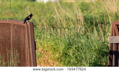 a redwing black bird singing on a bridge