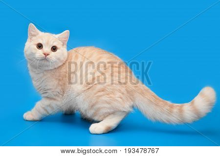 Ginger Cream kitten with a long tail on a blue background.