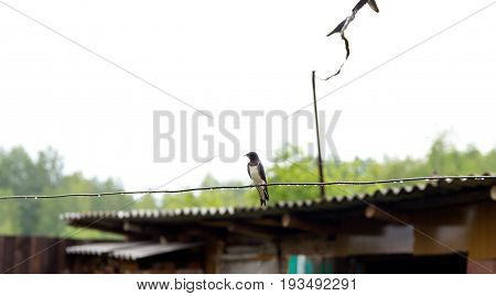 Swallow After The Rain Sitting On The Wire. Swallow In Natural Habitat