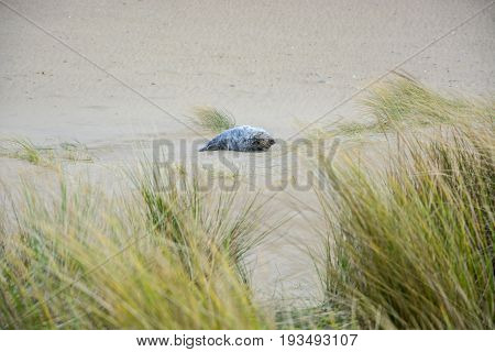 A single seal is relaxing at a beach at the coast of Norfolk in England