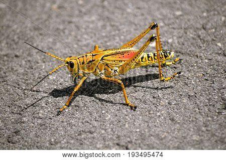 Eastern lubber Grasshopper Latin name Romalea microptera