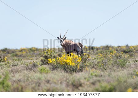 Oryx Walking In The Bush. Wildlife Safari In The Karoo National Park, Travel Destination In South Af