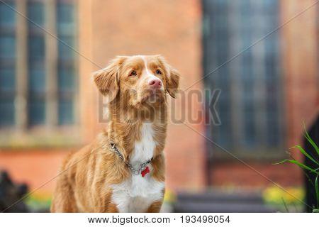 nova scotia duck tolling retriever dog outdoors