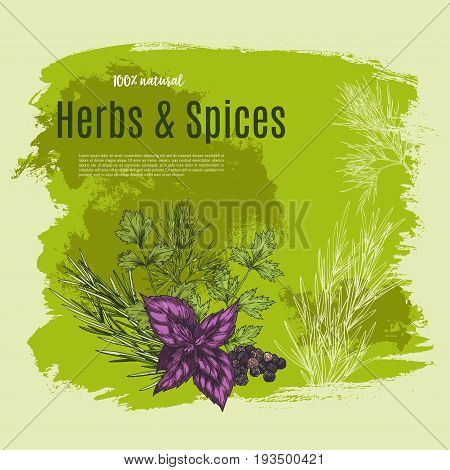 Spices and herbs or natural green seasoning vector poster for farm market of garden red basil, thyme or oregano condiments, herbal flavorings of sage or bay leaf and rosemary or peppermint and parsley