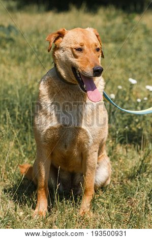 Cute Mixed Breed Brown Dog Smiling  Outdoors In The Sun With His Tongue Out, Friendly Happy Dog Up F