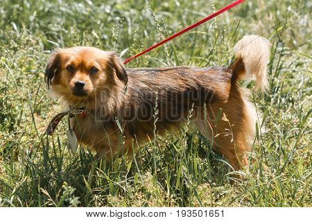 Friendly Small Brown Dog On A Leash In The Park, Mixed Bred Spaniel Looking At Camera, Animal Adopti