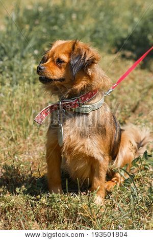Angry Small Brown Dog Sitting In The Park, Mixed Bred Spaniel Looking To The Side, Animal Adoption C