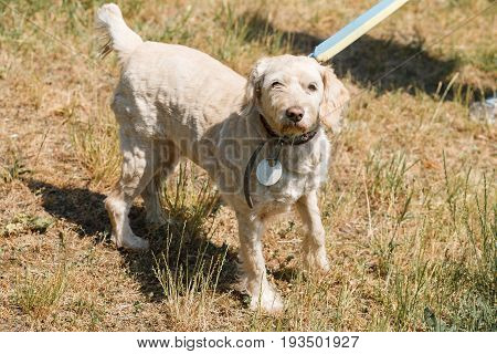 Serious Loyal Old Dog  On A Leash In The Park, White Fluffy Dog Walking Outdoors, Animal Shelter Con