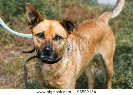 Face Close-up Of Cute Sad Dog With Funny Ears, Mixed Breed Brown Dog Looking At The Camera, Animal A