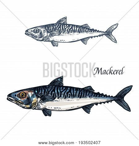 Mackerel fish vector sketch icon. Isolated sea scomber or atlantic scombridae fish species. Isolated marine fauna symbol for seafood or fish food restaurant sign emblem, fishing club or fishery market