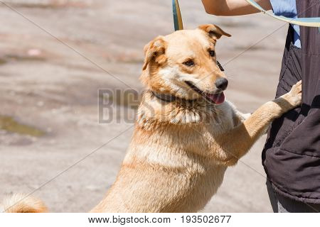 Happy Smiling Dog Leaning Against Owner, Friendly Mixed Bred Labrador Standing Outdoors, Animal Shel