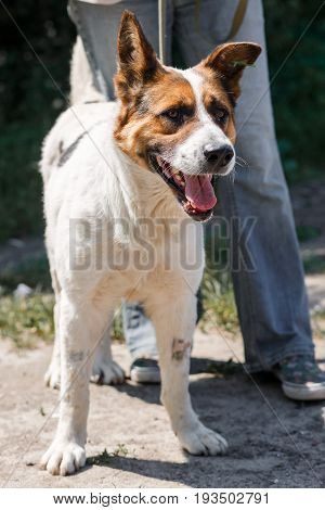 Charming Little Mixed Breed Shepherd Dog Smiling Outdoors While On A Walk In The Park With Female Ow